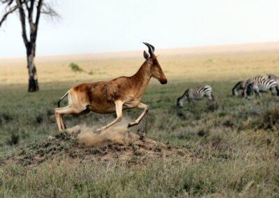 Antilopes vues au cours d'un safari en Tanzanie (Afrique)