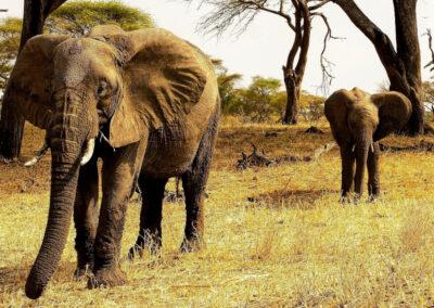 Eléphants vus au cours d'un safari en Tanzanie (Afrique)