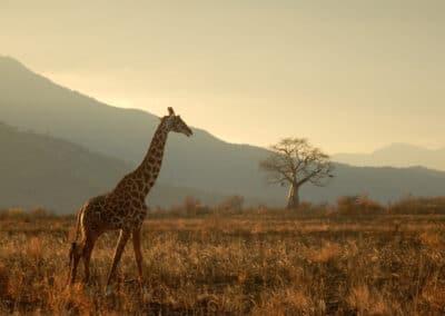 Girafe vue au cours d'un safari en Tanzanie (Afrique)