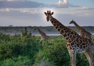 Girafes vues au cours d'un safari en Tanzanie (Afrique)