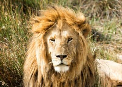 Lion vu au cours d'un safari en Tanzanie (Afrique)