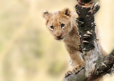 Lionceau vu au cours d'un safari en Tanzanie (Afrique)