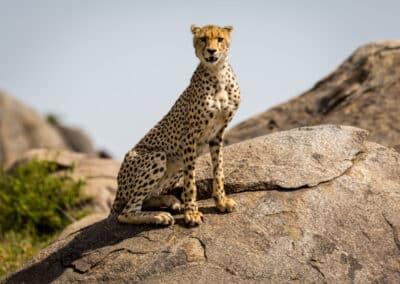 Lionne vue au cours d'un safari en Tanzanie (Afrique)