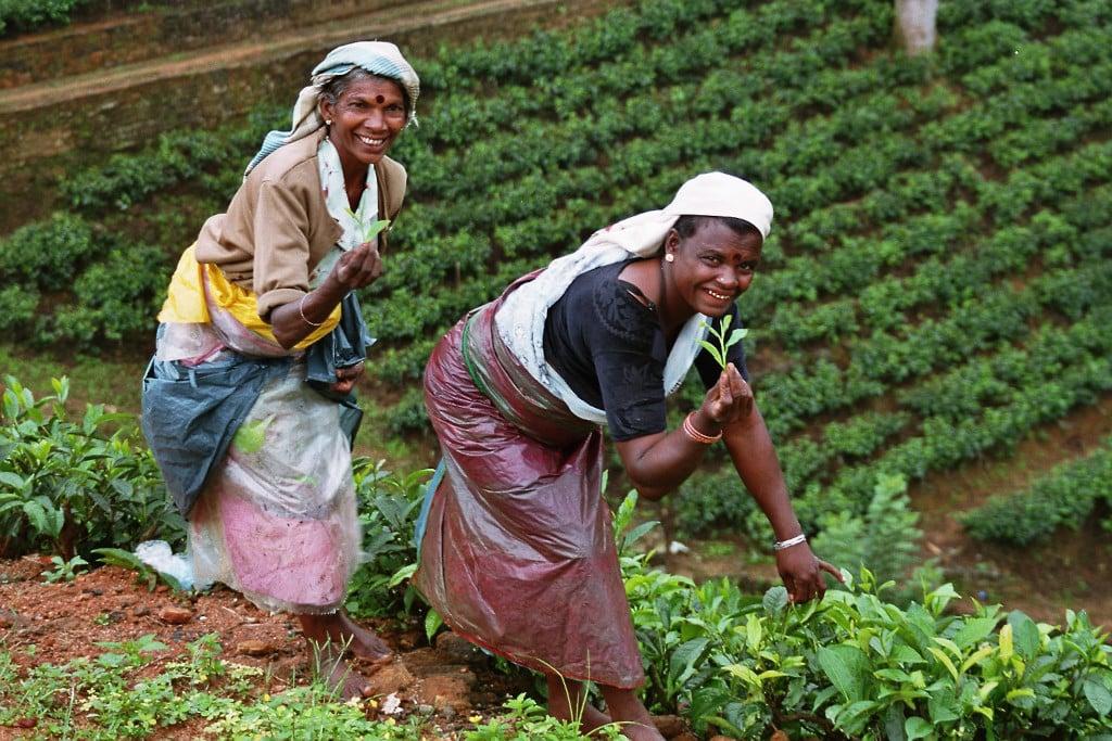 Plantations de thé au Sri Lanka (Ceylan) en Asie